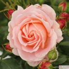 Mnohokvětá růže CREMOSA