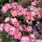 Mnohokvětá růže DOLOMITI