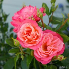 Mnohokvětá růže ENJOY