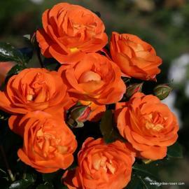 Mnohokvětá růže MANGO