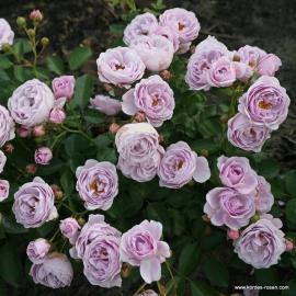 Mnohokvětá růže NAUTICA