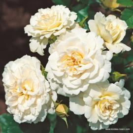 Mnohokvětá růže PETTICOAT