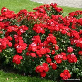 Mnohokvětá růže PLANTEN UN BLOMEN