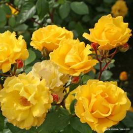 Mnohokvětá růže STUTTGARDIA
