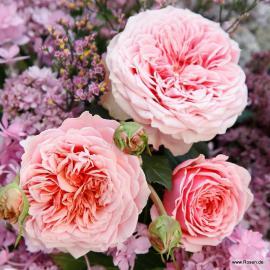 Mnohokvětá růže AMOROSA
