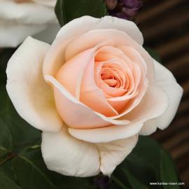 Velkokvětá růže COURAGE