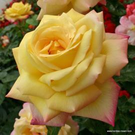 Velkokvětá růže GLORIA DEI