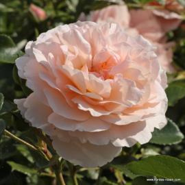 Velkokvětá růže SEBASTIAN KNEIPP