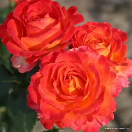 Velkokvětá růže VULCANO