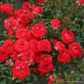 Miniaturní růže ZWERGENFEE 09