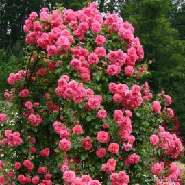 Pnoucí růže ROSARIUM UETERSEN