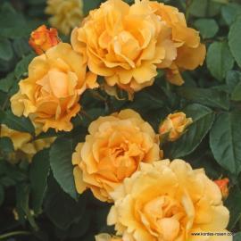 Sadová růže POSTILLION