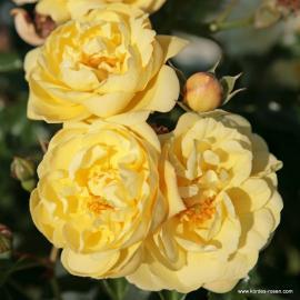Půdopokryvná růže SUNNY ROSE
