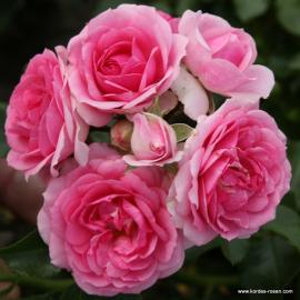 Půdopokryvná růže AMICA