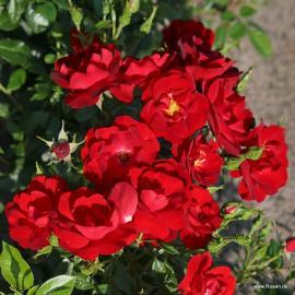 Mnohokvětá růže CAYENNE