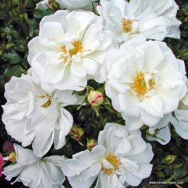 Mnohokvětá růže DIAMANT