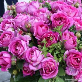 Mnohokvětá růže CARMEN WÜRTH