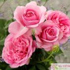 Mnohokvětá růže KÖNIGIN MARIE