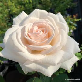 Velkokvětá růže GRÄFIN ELKE ZU RANTZAU
