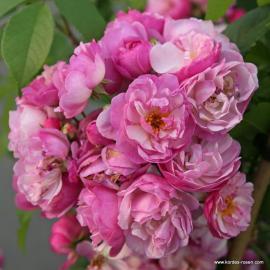 Pnoucí růže LAVENDER SILUETTA