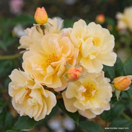 Pnoucí růže SUNNY SILUETTA