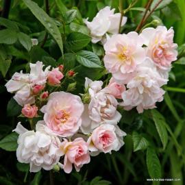 Pnoucí růže SWEET SILUETTA