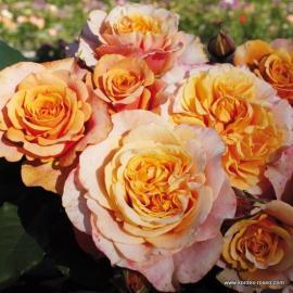 Velkokvětá růže LA VILLA COTTA