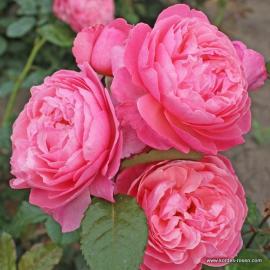 Velkokvětá růže KÖLNER FLORA