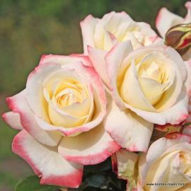 Velkokvětá růže ATHENA