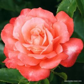 Velkokvětá růže HAMBURGER DEERN