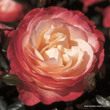 Velkokvětá růže NOSTALGIE