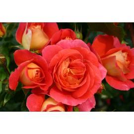 Mnohokvětá růže GEBRÜDER GRIMM