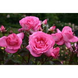 Velkokvětá růže ELIZA