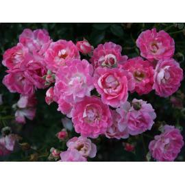 Miniaturní růže FLIRT 2011
