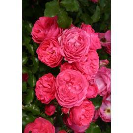 Mnohokvětá růže MOIN MOIN