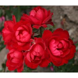 Mnohokvětá růže MILANO