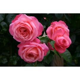 Pnoucí růže ROSANNA