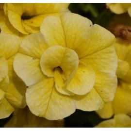 Calibrachoa Double Yellow 2ks