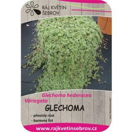 Glechoma 2ks
